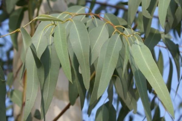 eucalyptus_oil6FD38497-748E-041C-2B1C-C049706705D9.jpg
