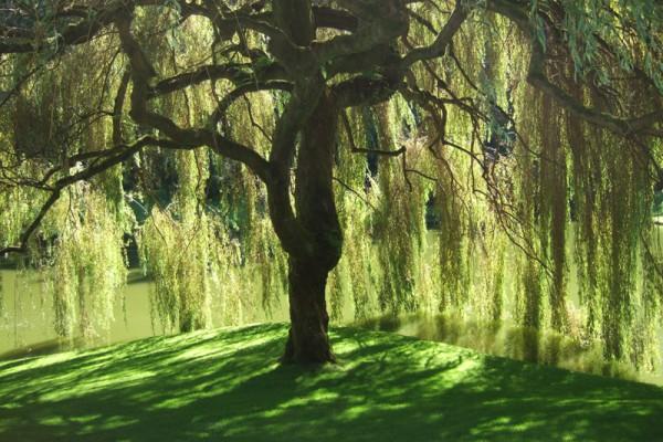 willow-tree051F86EC-EB1D-9ED4-AF17-88F0229288C1.jpg