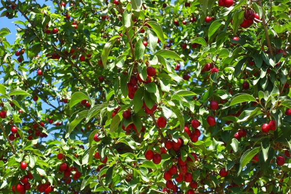 cherrytreeB8BB7B0D-9F49-EDCE-ACC7-9C80063F8A1E.jpg