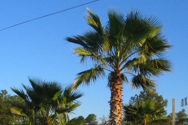 palm-trees51D3A9AC79-5354-3C5B-720F-A238382866FA.jpg