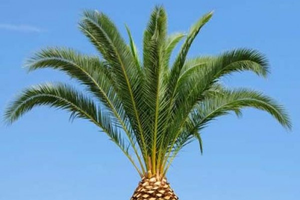 palm_tree_trimmed7505BE0F-ACF4-7A45-A3FB-359177B2E948.jpg