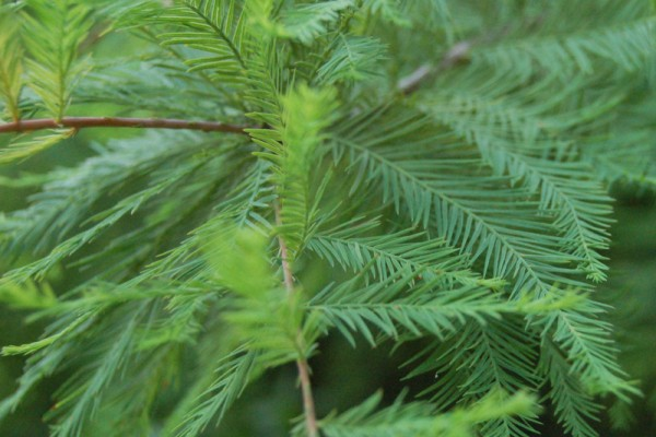 bald_cypress_leaves_2264px47A2E7AF-9E93-F090-5D7D-4BC987D1CB47.jpg