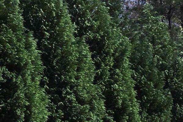 leyland-cypress321FFA55-96EC-037A-4AE6-1E6E10E78BEF.jpg