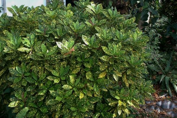 acuba-bush5C34A025-170E-C233-1044-4EFE605B315D.jpg