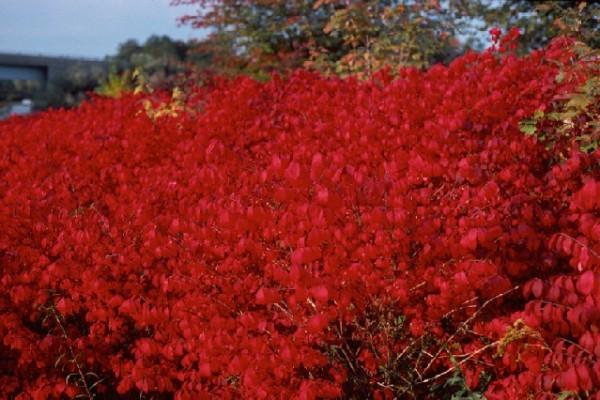 burning_bushE1043C72-01FD-2F0B-CCA9-99D9853FCE69.jpg