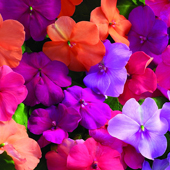 Impatiens-flowers-small
