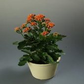 kalanchoe_african