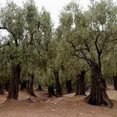 rsz_olive_trees