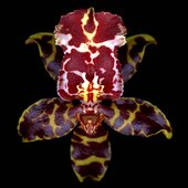 rsz_orchid_1