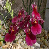 rsz_orchid_3