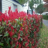 rsz_photinia_fraseri_var_red_robin