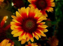 Gailardia or Blanket Flower