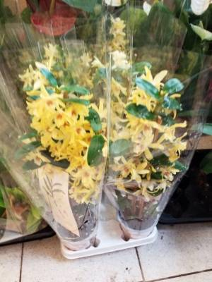 Dendrobium st cl chiomy yellow
