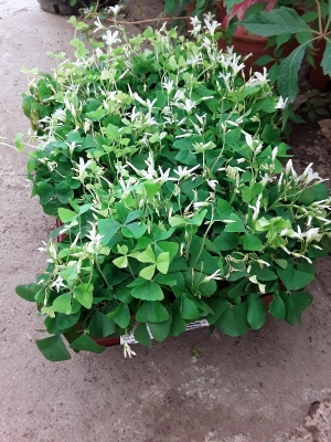 Oxalis triangularis green