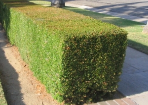 Myrtus Comunnis Hedge