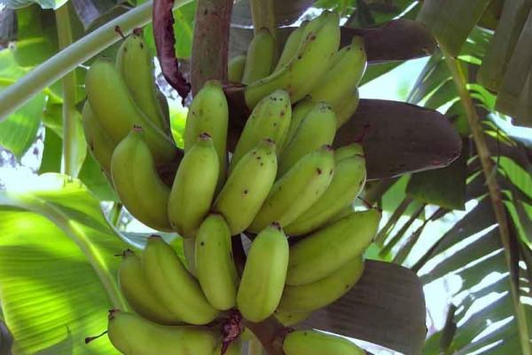 banana21535E4C-3122-4FE4-E805-710007B50530.jpg