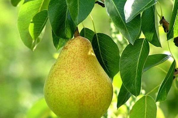 pear_tree02B41922-CC2D-2FF5-F13C-0AE3E2C9D7D5.jpg