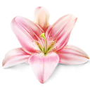 lily_flower_plant