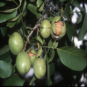 rsz_1walnut_tree_3