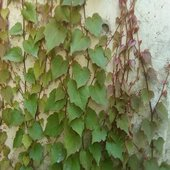 rsz_ivy_covering_wall
