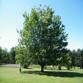 rsz_walnut_tree_1